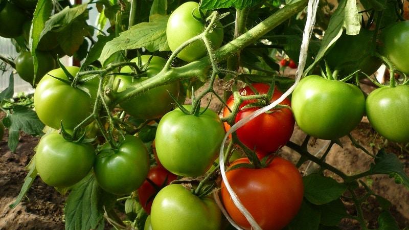 плохо краснеют помидоры в теплице