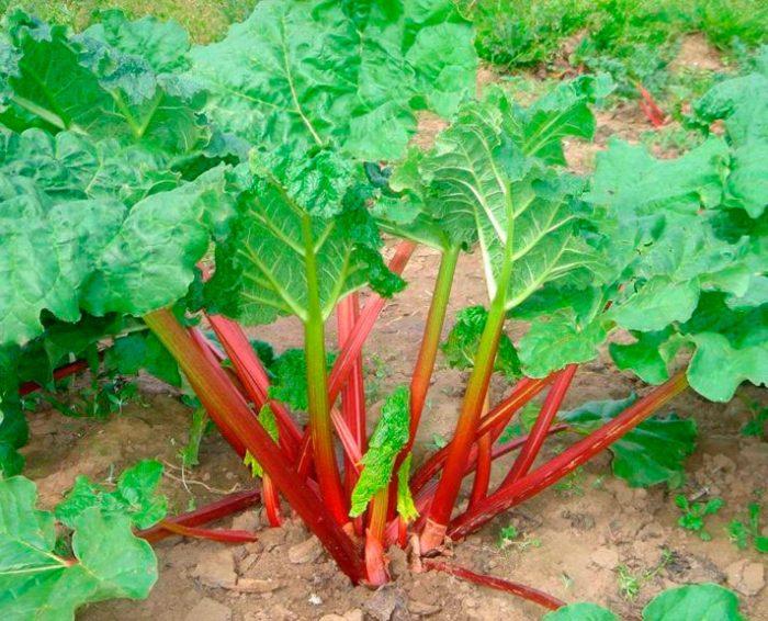 как посадить ревень семенами