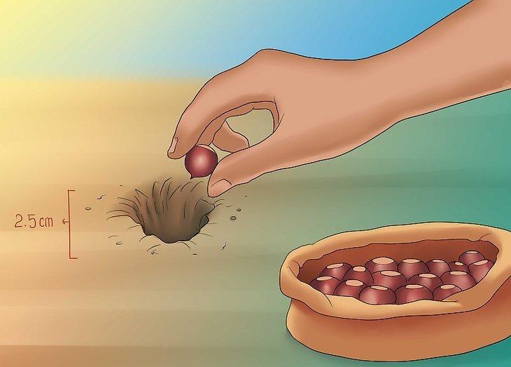 Как посадить орех каштана