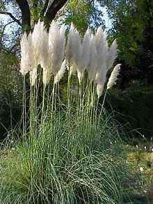 Кортадерия пампасная трава – что такое кортадерия (Cortaderia)? Особенности посадки и ухода в открытом грунте. Кортадерия серебристая для дачного участка