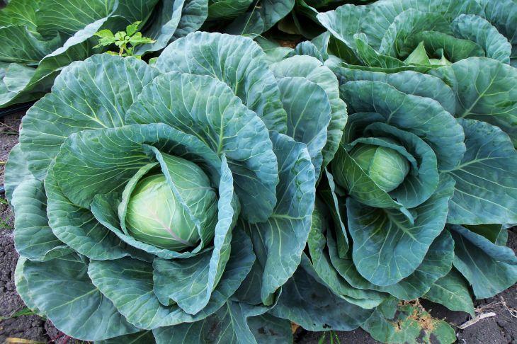Когда убирать капусту с грядки: советы и рекомендации